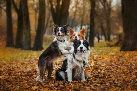 Border Collie dog breed in the park in autumn photo