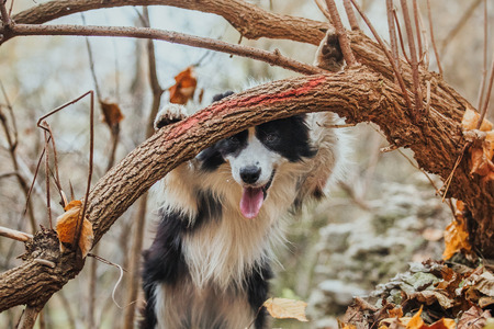 Border Collie dog breed in the park in autumn Stock Photo