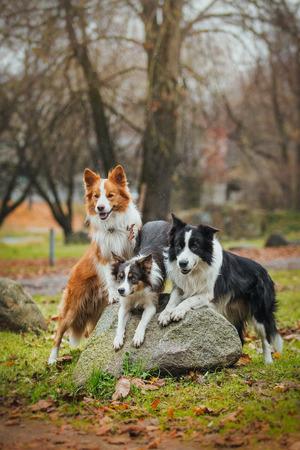 Border Collie dog breed in the park in autumn Standard-Bild