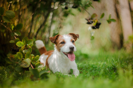 Cheerful dog Jack Russell Terrier playing Banco de Imagens