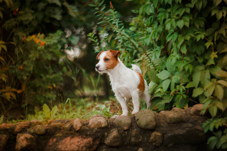 Cheerful dog, Jack Russell Terrier playing
