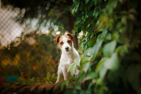 playful behaviour: Cheerful dog, Jack Russell Terrier playing