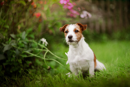 playful behaviour: Cheerful dog Jack Russell Terrier playing Stock Photo