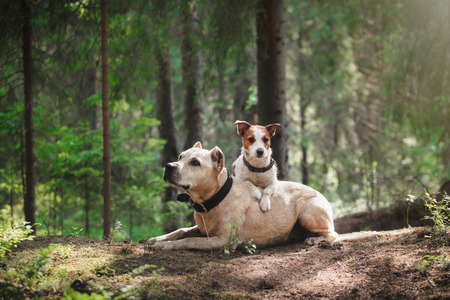 dog breeds: Jack Russell Terrier and a pit bull in the forest