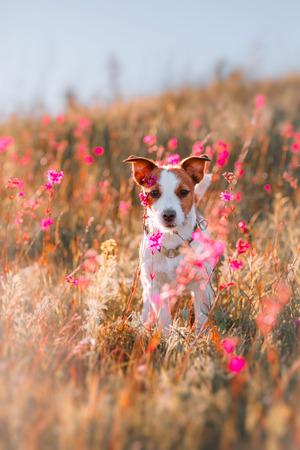 Dog jumping in the beautiful flower fields Standard-Bild