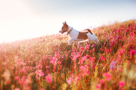 jack terrier: Dog jumping in the beautiful flower fields Stock Photo