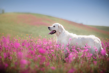 beautiful dog in flowers field, on the nature of motion 스톡 콘텐츠