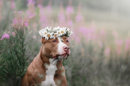 pit fall: Dog in flowers on the field with daisies