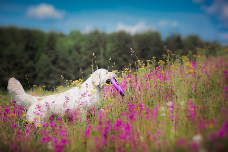 beautiful dog in flowers field, on the nature of motion Standard-Bild