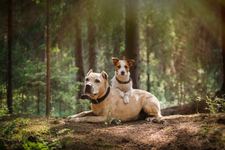 Jack Russell Terrier en een pitbull in het bos Stockfoto