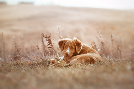 nova: Nova Scotia Duck Tolling Retriever Dog, beautiful fall colors red