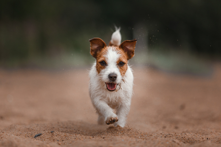 jack russell: Dog runs on the beach to play an active Terrier