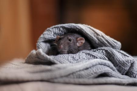 studio portret van een bruine binnenlandse rat