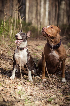 pit fall: Dog breed American Pit Bull Terrier and Bull Terrier walking in autumn park Stock Photo