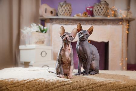 Sphynx kitten portrait on a color background