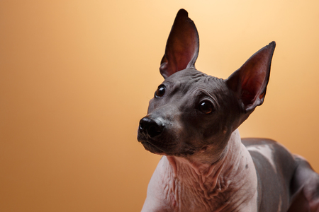 hairless: Xoloitzcuintle - hairless mexican dog breed, Studio portrait on a dark background