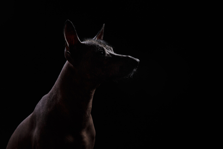 majestic: Xoloitzcuintle - hairless mexican dog breed, Studio portrait on a dark background
