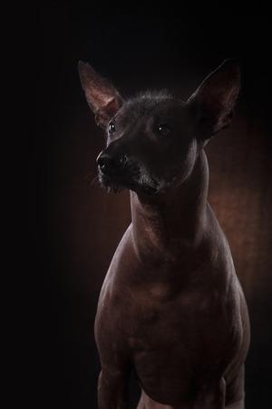 black bitch: Xoloitzcuintle - hairless mexican dog breed, Studio portrait on a dark background