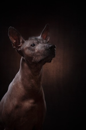 profile silhouette: Xoloitzcuintle - hairless mexican dog breed, Studio portrait on a dark background