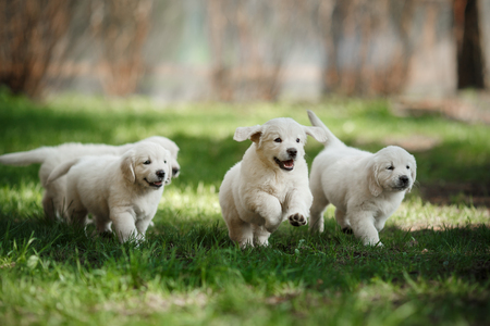 Little puppys Golden retriever, puppies running around, playing in the summer park Banco de Imagens
