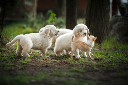 Little Puppy Golden Retriever Puppy Running Playing In The Stock