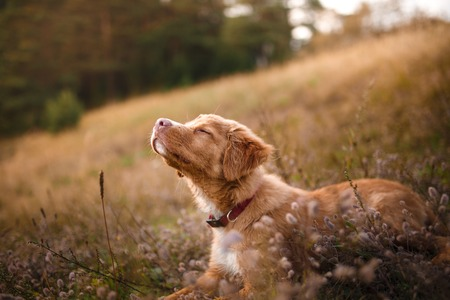 Dog Nova Scotia Duck Tolling Retriever walking in summer park, Dog walking in the forest 스톡 콘텐츠