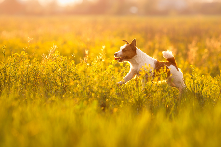 Dog Jack Russell Terrier walking in a field in summer Banco de Imagens