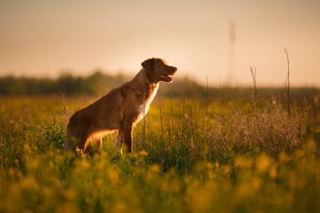 Hond Nova Scotia Duck Tolling Retriever die in een veld in de zomer, zonsondergang loopt Stockfoto