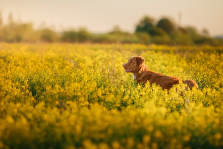 Dog Nova Scotia Duck Tolling Retriever walking in a field in summer, sunset Banco de Imagens