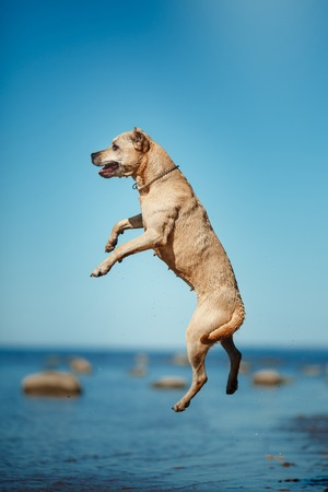 american staffordshire terrier: Dog breed American Staffordshire Terrier walking by the lake Stock Photo