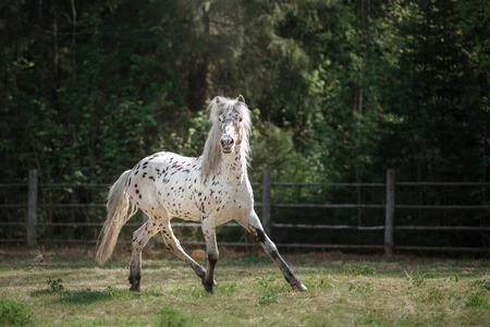 appaloosa: knabstrup appaloosa horse trotting in a meadow, appaloosa horse a white horse with black spots running