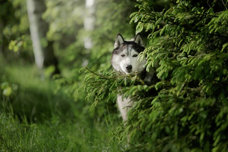 Dog breed Siberian Husky walking in summer park, Dog walking in the forest Stock Photo