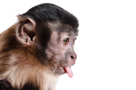 Capuchin monkey on a white background studia