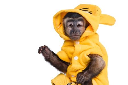 brown throated: Capuchin monkey on a white background studia