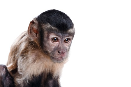 Capuchin monkey on a white background studia