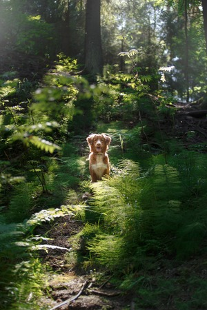 Nova Scotia Duck Tolling Retriever. Dog outdoors in the woods Stock Photo