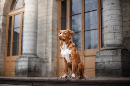 dog at a building Nova Scotia Duck Tolling Retriever Stock Photo