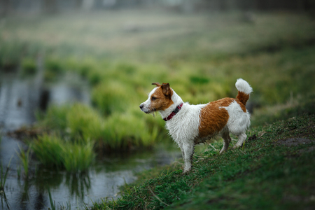 dog near the pond Jack Russell Terrier