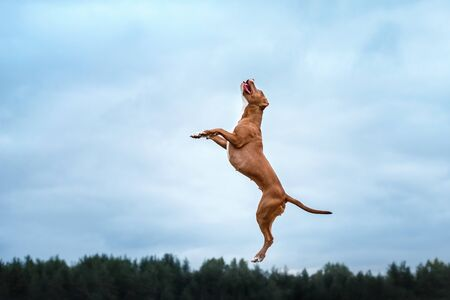 pit bull terrier dog active in the sky