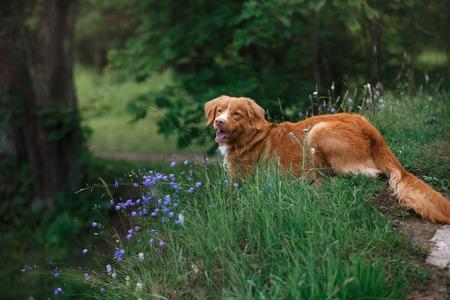 dog walks on nature, greens, flowers Nova Scotia Duck Tolling Retriever Stock Photo
