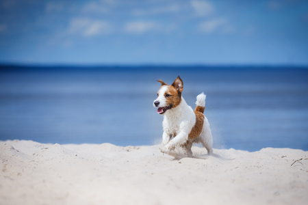 Jack Russell Terrier walking, active dog playing on the beach in summer