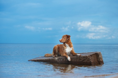 Nova Scotia Duck Tolling Retriever walking, active dog playing on the beach in summer