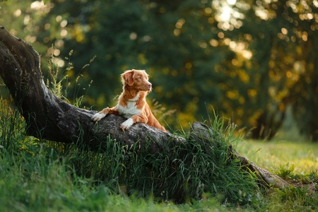 dog walks on nature, greens, flowers Nova Scotia Duck Tolling Retriever in summer