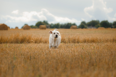 Mooie Labrador, hond die op een gebied loopt, dat op het hooi, de zomerdag ligt