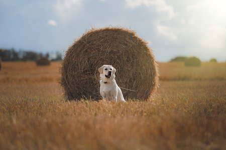 Beautiful Labrador retriever, dog walking in a field, lying on the hay, summer day Stock Photo