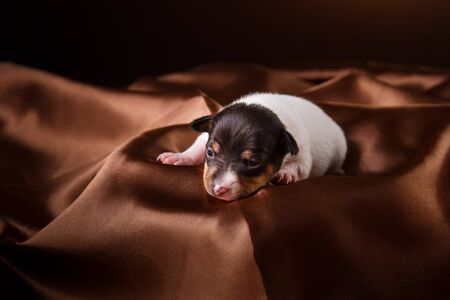 fox terrier puppy: Studio portrait little puppy breed Toy fox terrier on color background Stock Photo
