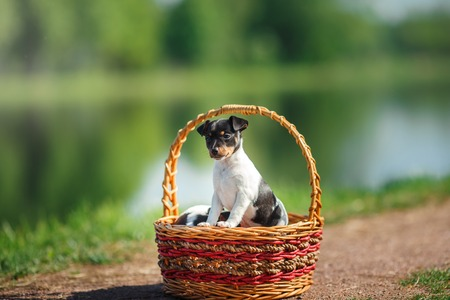 hunter playful: little puppys breed Toy fox terrier in the summer the park on the green grass, sitting in a wicker basket Stock Photo
