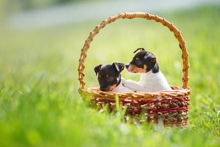 little puppys breed Toy fox terrier in the summer the park on the green grass, sitting in a wicker basket Stock Photo