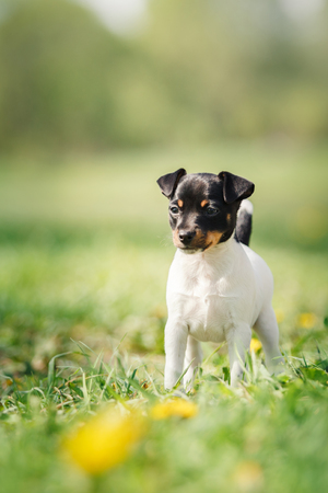 fox terrier puppy: little puppy breed Toy fox terrier in the summer the park on the green grass