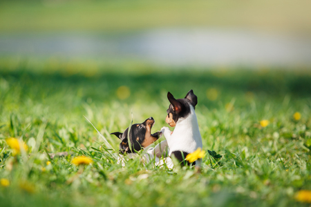 little puppys breed Toy fox terrier in the summer the park on the green grass